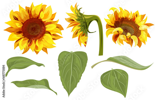Set Of Sunflower Yellow Flowers Bud Green Leaves On White Background Floral Elements For Design Digital Draw Vector Illustration In Watercolor Style Buy This Stock Vector And Explore Similar Vectors At
