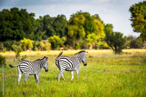 Fotografija  Zebra walks on the grass in the Moremi Game Reserve (Okavango River Delta), Nati