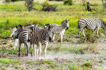 Fototapeta na wymiar Zebra clpse view in the Moremi Game Reserve (Okavango River Delta), National Park, Botswana