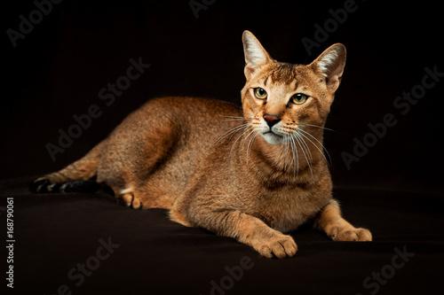 Fotografie, Obraz  Chausie, abyssinian cat on dark brown background