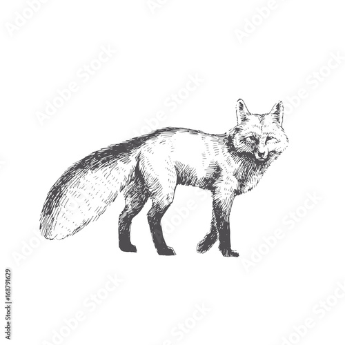Photo  Vector hand drawn illustration of walking fox isolated on white background