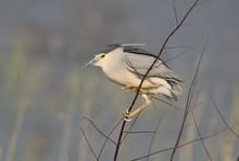Black-crowned Night Heron On T...