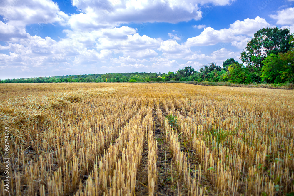 Fototapeta Big yellow field after harvesting. Mowed wheat fields under beautiful blue sky and clouds at summer sunny day. Converging lines on a stubble wheat field