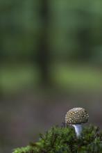 Amanite Panthère