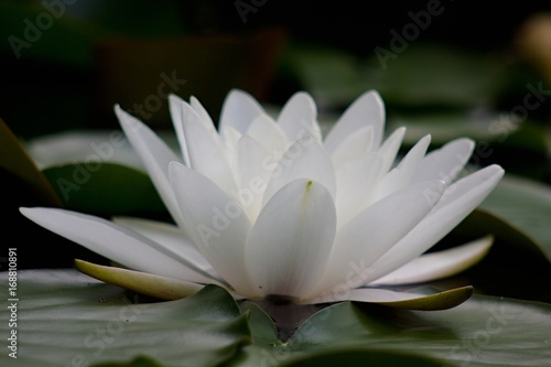 Poster de jardin Nénuphars Water lilly, lotos flower