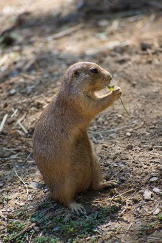 Fotografie, Obraz  prairie dog