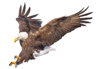 Napad ćelavog orla rukom crtati i slikati na bijeloj pozadini vektorska ilustracija životinjskog svijeta.