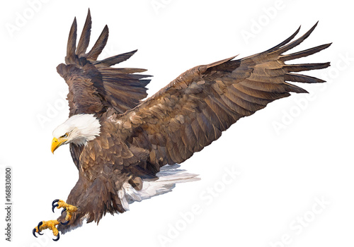Obraz na plátně Bald eagle swoop attack hand draw and paint on white background animal wildlife vector illustration