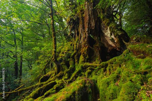 Foto auf Gartenposter Wald 屋久島の森