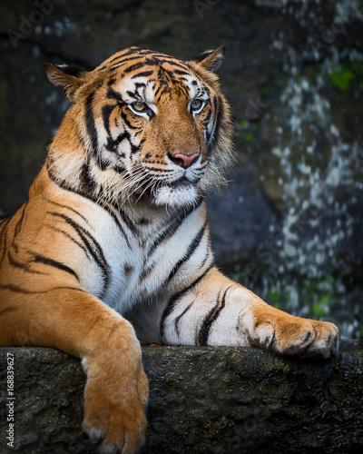 Fototapety, obrazy: Tigers.