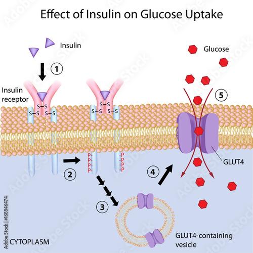 Fotografia, Obraz  Insulin induces glucose uptake by target cells.