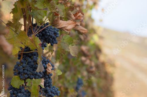 Tuinposter Wijngaard Weinlandschaft Hintergrund