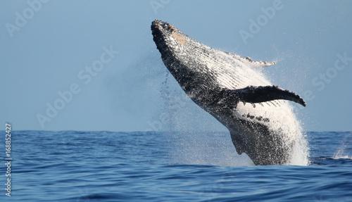 Fototapeta premium Imponujące skoki wielorybów na wyspie Reunion