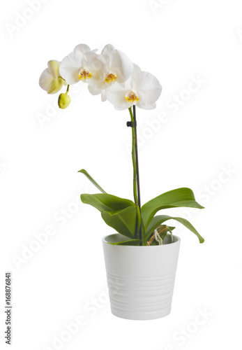 Fototapeta Blooming orchid plant in ceramic flower pot isolated on white background obraz