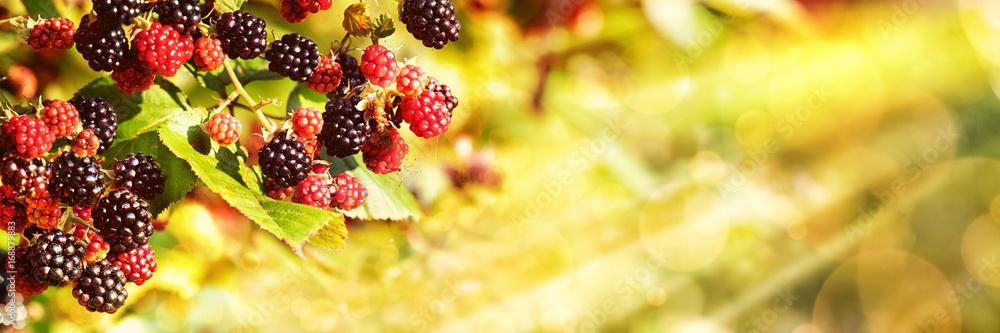 Fototapety, obrazy: Blackberries, Late Summer Background