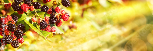 Obraz Blackberries, Late Summer Background - fototapety do salonu