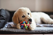 canvas print picture - Golden retriever dog puppy playing with toy