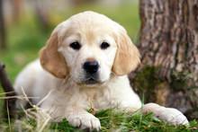 Young Golden Retriever Puppy Lying On Grass