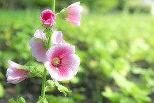 Close Up View Of Althaea Rosea Or Alcea Rosea Common Name Is Hollyhock. Blossoming To See The Pollen Fall With Warm Sunshine.