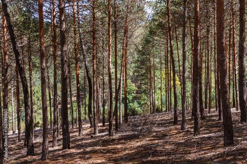 Pinus sylvestris. Bosque de Pino silvestre, albar. Sierra de la Culebra, Zamora, España. © LFRabanedo