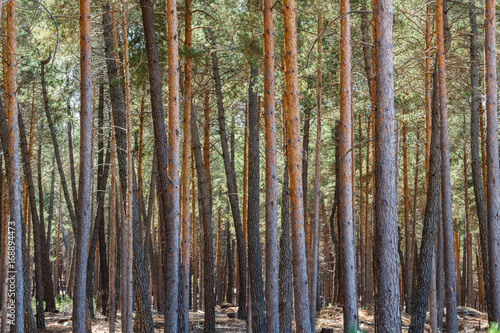 Pinus sylvestris. Pinar. Pino silvestre, albar. Sierra de la Culebra, Zamora, España. © LFRabanedo