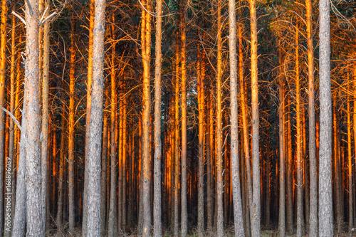 Pinus sylvestris. Pinar con luz del atardecer. Pino silvestre, albar.  © LFRabanedo