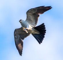 Mississippi Kite In Flight
