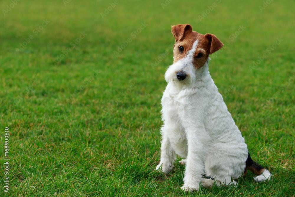 Fototapety, obrazy: Dog breed Fox terrier