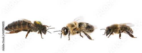 Photo bee queen mother and drone and bee worker - three types of bee (apis mellifera)