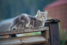 A Gray Cat Sits On The Fence