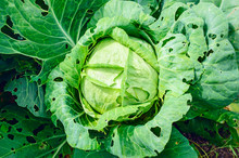 Pests Eat Cabbage Growing On A...