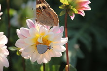 Two Maryland Native Butterflies Common Buckeye And Grey Hairstreak Are Sitting Together On One Flower