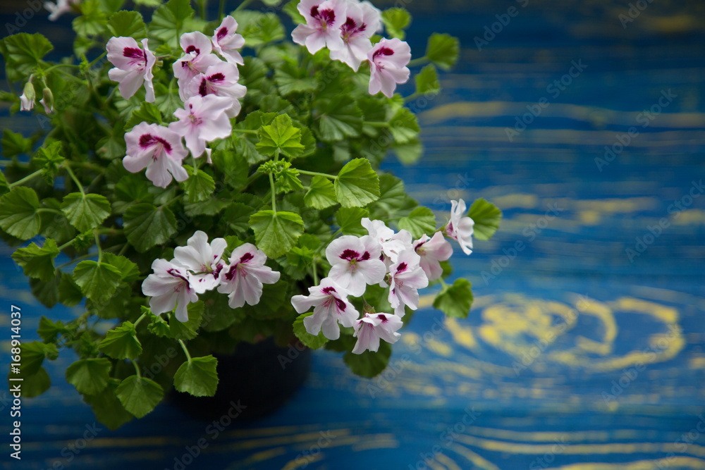 Fototapety, obrazy: Blossoming geranium on a wooden background Shabby Chic