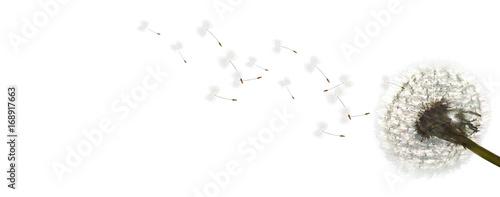 Poster Pissenlit Schöne Pusteblume freigestellt