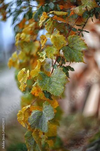 Door stickers Vineyard Defocused colored leaves on a bush