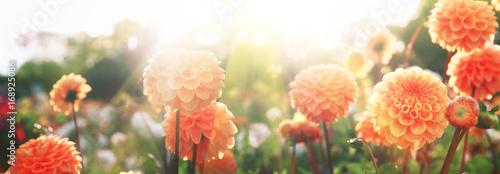 Foto op Aluminium Dahlia Wunderschöne Blumen im Sommer