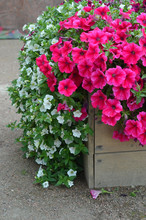 Pink Petunia And White Flowers...