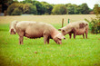 Leinwanddruck Bild - Pig farm.  pigs in field. Healthy pig on meadow