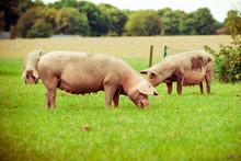 Pig Farm.  Pigs In Field. Heal...