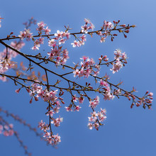 Cherry Blooming In Chiang Mai....