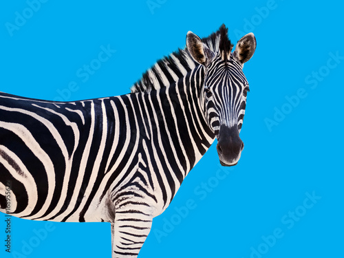 Poster de jardin Zoo zebra face straight Blue background