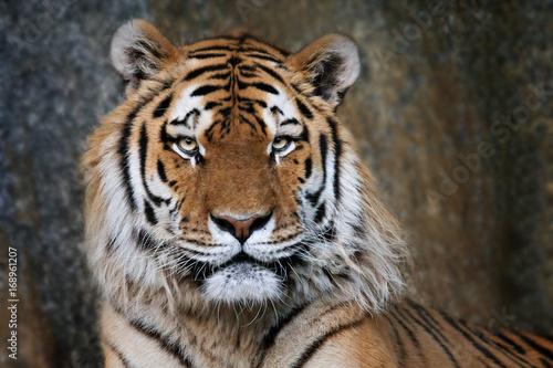 Foto auf AluDibond Tiger Imposanter Tiger - Portrait