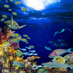 Fototapeta Panorama colorful wide underwater coral reef square banner background with many fishes turtle and marine life / Unterwasser Korallenriff Hintergrund quadratisch