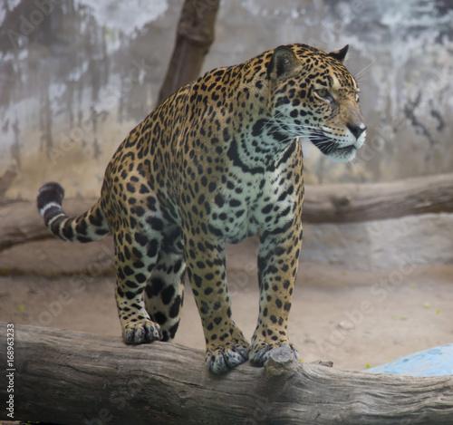 Foto op Aluminium Luipaard Indochinese Leopard