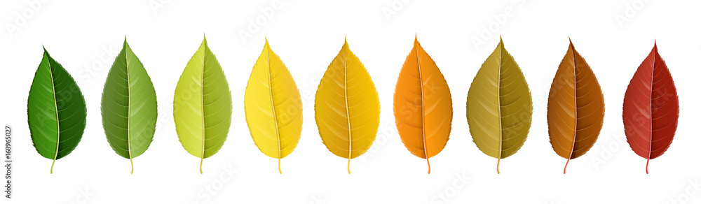 Fototapeta Autumn leaf set arranged in color palette in row, isolated on white, for autumn design and decoration. Realistic vector illustration.