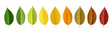 Autumn Leaf Set Arranged In Co...