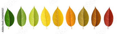 Autumn leaf set arranged in color palette in row, isolated on white, for autumn design and decoration. Realistic vector illustration.