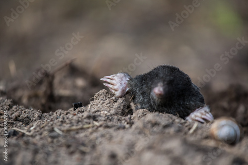Photo  A curious mole sticking his nose out in the light in garden