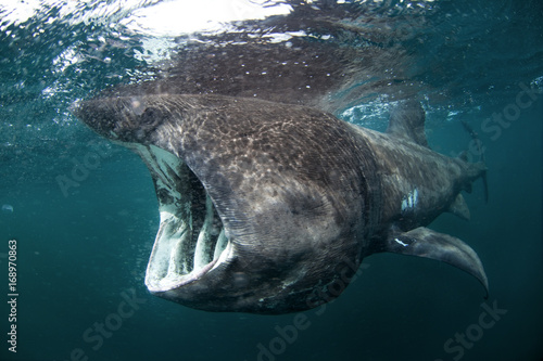 Photo  basking shark, cetorhinus maximus, Coll island, Scotland