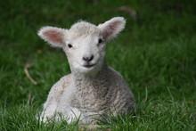 Lamb Resting On Matiu Somes Island, New Zealand